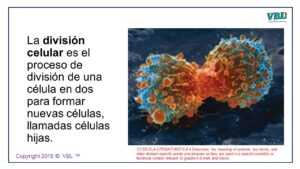 Cell Division Spanish 4